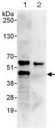 Immunoprecipitation - Anti-LEF1 antibody (ab124271)
