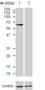 Other - Anti-CBS antibody [3E1] (ab124276)