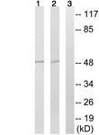 Western blot - Anti-CEP57 antibody (ab124280)
