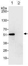 Immunoprecipitation - Anti-ETS1 antibody (ab124282)