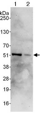 Western blot - Anti-GATA3 antibody (ab124288)