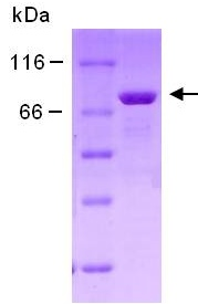 SDS-PAGE - Moesin protein (ab124306)