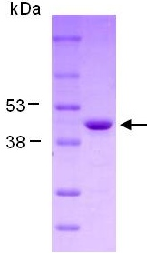 SDS-PAGE - Creatine kinase B type protein (ab124308)