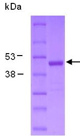 SDS-PAGE - Creatine Kinase MM protein (ab124319)