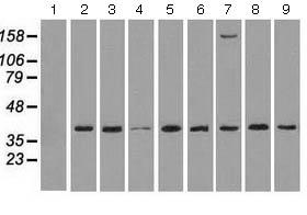 Western blot - Anti-ERK2 antibody [6F8] (ab124362)