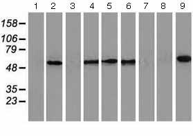 Western blot - Anti-CALCOCO2 antibody [4H5] (ab124372)