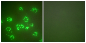 Immunocytochemistry/ Immunofluorescence - Anti-Grp75 antibody (ab124382)