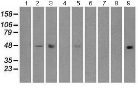 Western blot - Anti-IRF3 antibody [5D2] (ab124399)