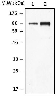 Western blot - Anti-Lactoferrin antibody (ab124426)