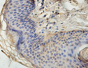 Immunohistochemistry (Formalin/PFA-fixed paraffin-embedded sections) - Anti-ECHDC1 antibody (ab124449)