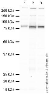 Western blot - Anti-CD36 antibody (ab124515)