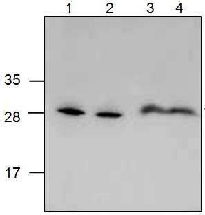 Western blot - Anti-VENTX antibody (ab124523)