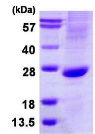 SDS-PAGE - MATH1/HATH1 protein (ab124546)