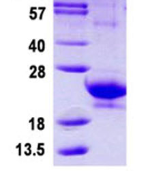 SDS-PAGE - IFNA14 protein (ab124549)