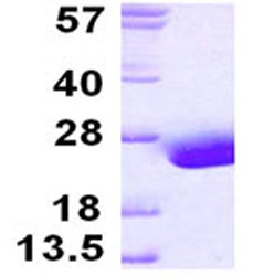 SDS-PAGE - FABP9 protein (ab124550)