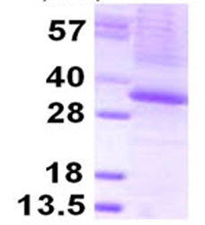 SDS-PAGE - THAP1 protein (ab124553)