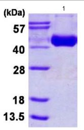 SDS-PAGE - H3 (H3N2) protein (ab124562)