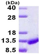 SDS-PAGE - ICEBERG protein (His tag) (ab124567)