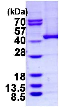 SDS-PAGE - ADH5 protein (His tag) (ab124573)