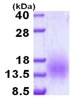 SDS-PAGE - ESAT6 protein (His tag) (ab124574)