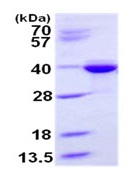 SDS-PAGE - Syntaxin 3 protein (His tag) (ab124597)