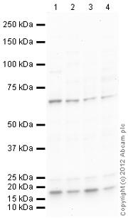 Western blot - Anti-AF9 antibody (ab124626)