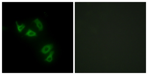 Immunocytochemistry/ Immunofluorescence - Anti-MUC13 antibody (ab124654)