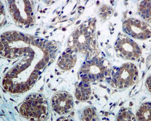 Immunohistochemistry (Formalin/PFA-fixed paraffin-embedded sections) - Anti-DCTN3 antibody [EPR5097] (ab124674)
