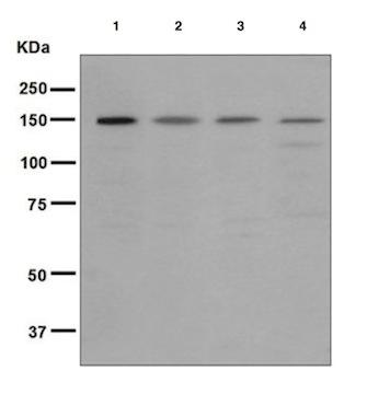 Western blot - Anti-Rad50 antibody [EPR3466(2)] (ab124682)