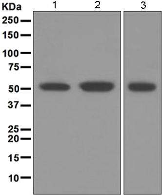 Western blot - Anti-MUM1 antibody [EPR5653] (ab124691)