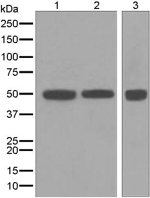 Western blot - Anti-CAP2 antibody [EPR6377] (ab124692)