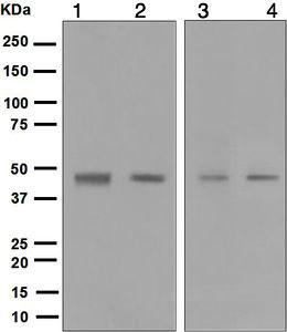Western blot - Anti-Dux4 antibody [E55] (ab124699)