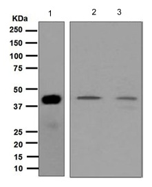 Western blot - Anti-Cdk7 antibody [EP4324] (ab124712)
