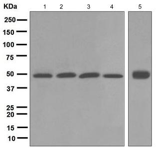 Western blot - Anti-BMP4 antibody [EPR6211] (ab124715)