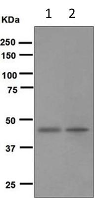 Western blot - Anti-BMP11 + GDF8 / Myostatin antibody [EPR4567(2)] (ab124721)