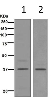 Western blot - Anti-FRA1 antibody [EP4711] (ab124722)