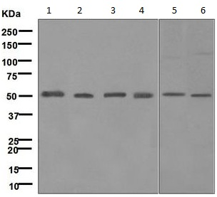 - Anti-UBE1C antibody [MILR42872] (ab124728)