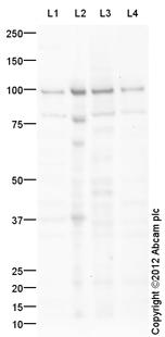 Western blot - Anti-ICAM1 antibody (ab124759)