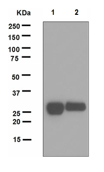 Western blot - Anti-Lin28A antibody [EPR4640] (ab124765)
