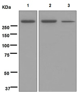 Western blot - Anti-M6PR (cation independent) [EPR6599] antibody - Lysosome Membrane Marker (ab124767)