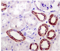 Immunohistochemistry (Formalin/PFA-fixed paraffin-embedded sections) - Anti-Mitofusin 2 antibody [NIAR164] (ab124773)
