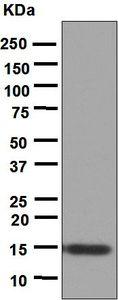 Western blot - Anti-IL9 antibody [EPR5735] (ab124774)