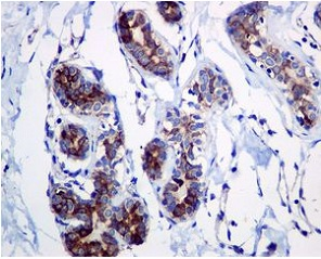 Immunohistochemistry (Formalin/PFA-fixed paraffin-embedded sections) - Anti-Adenosine A1 Receptor antibody [EPR6179] (ab124780)