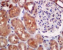 Immunohistochemistry (Formalin/PFA-fixed paraffin-embedded sections) - Anti-MGEA5 antibody [EPR7154(B)] (ab124807)