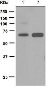 Western blot - Anti-CD300 antigen antibody [EPR5226] (ab124810)