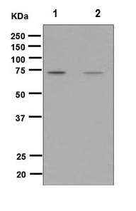 Western blot - Anti-RASGRP3 (phospho T133) antibody [5333-1] (ab124823)