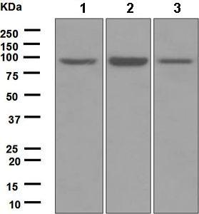 Western blot - Anti-MCM4 antibody [EPR5245] (ab124836)