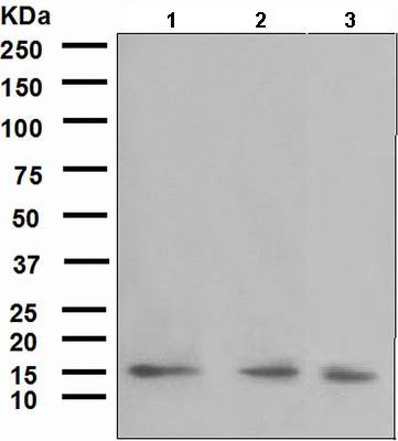 Western blot - Anti-SEP15 antibody [NCIR128A] (ab124840)