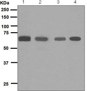 Western blot - Anti-Glypican 5 antibody [EPR6756(B)] (ab124886)