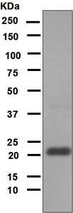 Western blot - Anti-Mitochondrial Ferritin antibody [EPR1797] (ab124889)